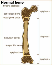 Figure. Normal bone.... - Click to enlarge in new window